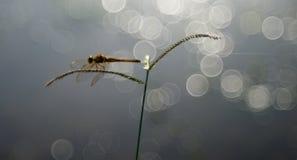 Ein Hintergrundbeleuchtungsfoto einer Libelle lizenzfreies stockbild