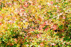 Ein Hintergrundfrühlingsbusch von verschiedenen Farben Lizenzfreie Stockbilder