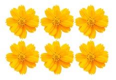 Ein Hintergrundkonzept von Kosmos-Gelb-Blumen Lizenzfreie Stockbilder