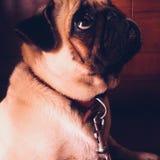 Ein hoffnungsvoller Pug im Regen Stockfoto