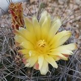 Ein hoher genauer Blick an einer gelben Blume des Regenbogen-Igelen Kaktus Stockfotografie