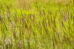 Ein hohes saftiges Gras auf einer sumpfigen Wiese Stockbilder
