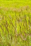 Ein hohes saftiges Gras auf einer sumpfigen Wiese Lizenzfreies Stockbild