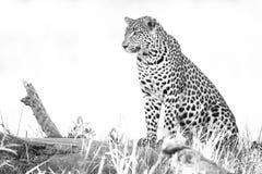 Ein horizontales, Schwarzweiss-Foto eines stillstehenden Leoparden, Panthe Lizenzfreie Stockbilder
