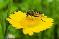 Ein Hoverfly, das von einer wilden Blume isst Lizenzfreie Stockfotos