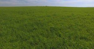Ein Hubschrauber fliegt über grünes Gras durch ein großes Feld stock footage