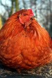 Ein Huhn Stockbilder