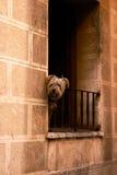 Ein Hund auf dem Balkon in Zaragoza Lizenzfreie Stockfotografie