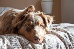Ein Hund auf dem Bett Stockfotografie