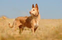 Ein Hund auf dem Gebiet Stockfotografie