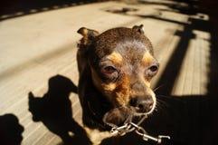 Ein Hund auf einer Kette Lizenzfreies Stockbild