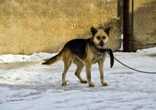 Ein Hund auf einer Kette Lizenzfreie Stockfotos