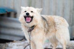 Ein Hund auf einer Kette Lizenzfreie Stockbilder