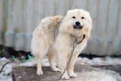 Ein Hund auf einer Kette Lizenzfreie Stockfotografie