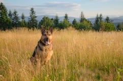 Ein Hund auf einer Lichtung Lizenzfreie Stockfotografie