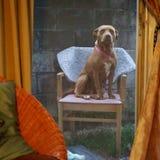 ein Hund auf ihrem Thron Lizenzfreie Stockfotos