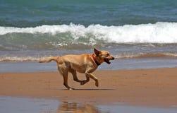 Ein Hund, der auf einen Strand läuft Stockfotografie