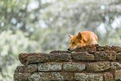 Ein Hund, der auf Laterite-Steinwand, der historische Park, Provinz Kamphaeng Phet sich entspannt Lizenzfreie Stockbilder