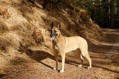 Ein Hund, der im Wald steht Stockfotografie