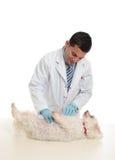 Ein Hund, der vom Tierarzt überprüft wird Stockfotografie