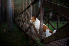 Ein Hund, der vorwärts auf der Brücke und den Blicken steht Terrier Jack-Russell Lizenzfreie Stockbilder