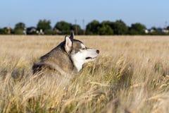 Ein Hund der Zucht des sibirischen Huskys der Schwarzweiss-Farbe Stockfotos
