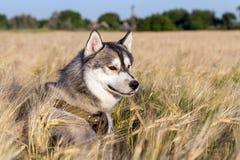 Ein Hund der Zucht des sibirischen Huskys der Schwarzweiss-Farbe Stockbild
