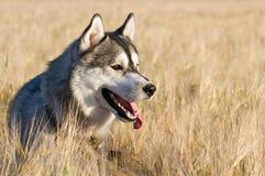 Ein Hund der Zucht des sibirischen Huskys der Schwarzweiss-Farbe Stockbilder