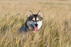 Ein Hund der Zucht des sibirischen Huskys der Schwarzweiss-Farbe Lizenzfreies Stockfoto