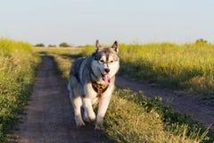 Ein Hund der Zucht des sibirischen Huskys der Schwarzweiss-Farbe Lizenzfreie Stockfotografie