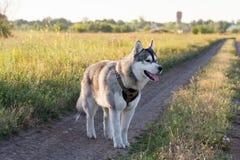 Ein Hund der Zucht des sibirischen Huskys der Schwarzweiss-Farbe Stockfoto