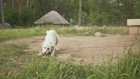Ein Hund im Dorf am Rand des Waldes wird mit der Ankunft des Eigentümers gefallen und wedelt sein Endstück landwirtschaftlich stock video footage