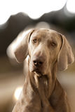 Ein Hund im Porträt Lizenzfreie Stockfotografie