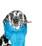 Ein Hund ist krank und misst die Temperatur Stockfoto