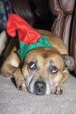 Ein Hund ist nicht gerade für Weihnachten Lizenzfreies Stockbild