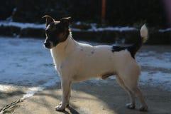 Ein Hund - Jack Russell Terrier stolz auf  lizenzfreies stockfoto