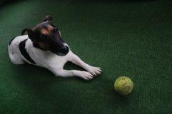 Ein Hund - Jack Russell Terrier-Wartespielen mit Tennisball stockfotos