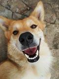 Ein Hund lächelt Lizenzfreie Stockfotografie
