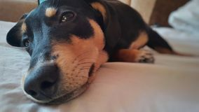 Ein Hund liegt lustig auf einem Bett Lizenzfreie Stockfotos