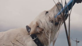 Ein Hund mit einem Frisbee stock footage