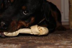 Ein Hund mit einem Knochen Stockbild