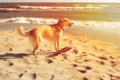 Ein Hund mit Frisbee bellend auf der Sanddüne am Strand in Stockfotografie