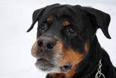 Ein Hund-rottweiler Lizenzfreies Stockfoto