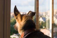 Ein Hund schaut durch das Fenster Lizenzfreies Stockfoto