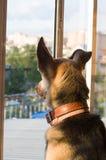 Ein Hund schaut durch das Fenster Stockfoto