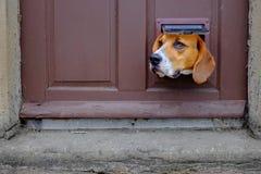 Ein Hund schaut durch die Katzenklappe in einer Tür Stockfoto