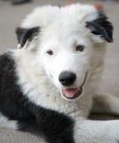 Ein Hund sieht wie Panda aus Lizenzfreie Stockfotos