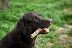 Ein Hund spielt mit einem Stock auf dem Gras im Hinterhof, Haustiere, ein Labrador Lizenzfreie Stockfotos
