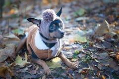 Ein Hund, ein Spielzeugterrier, ein stilvoll gekleideter kleiner Hund in einem Hut Lizenzfreie Stockfotos