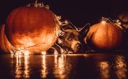 Ein Hund und Halloween-Kürbise Lizenzfreie Stockfotografie